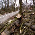 Alej během zásahu – část pokácených stromů, část torza.